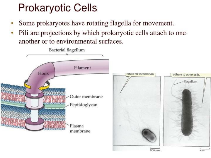Some prokaryotes have rotating flagella for movement.