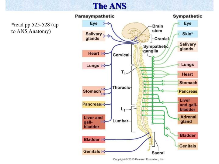 The ANS