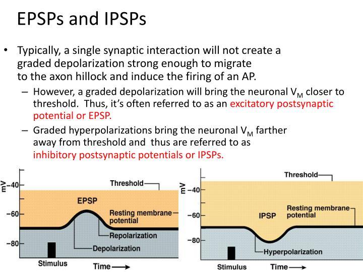 EPSPs and IPSPs