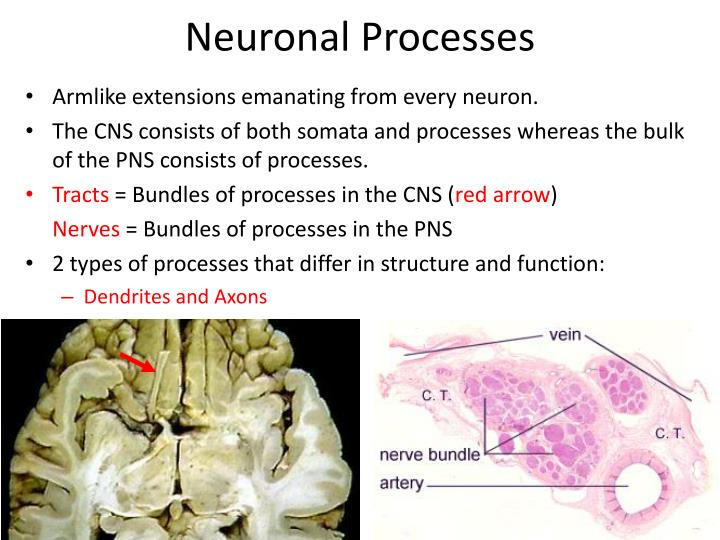 Neuronal Processes