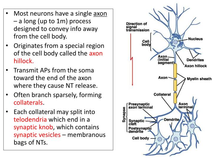 Most neurons have a single