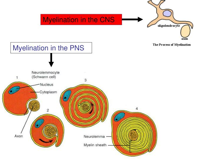 Myelination in the CNS