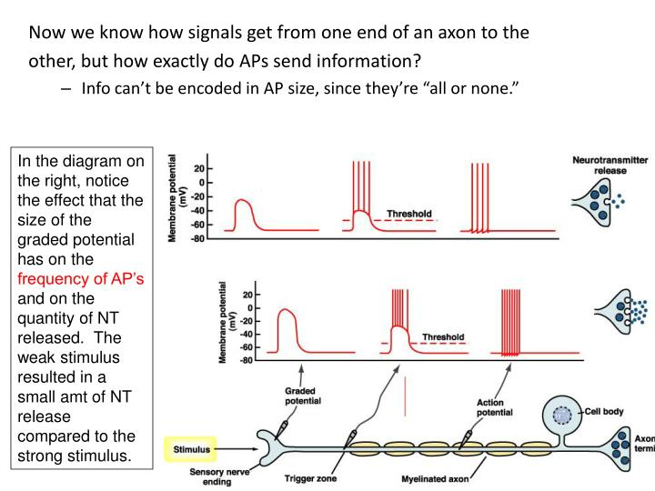 Now we know how signals get from one end of an axon to the