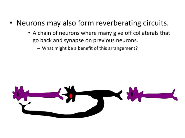 Neurons may also form reverberating circuits.