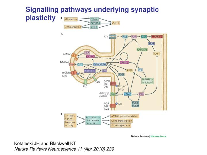 Signalling pathways underlying synaptic plasticity