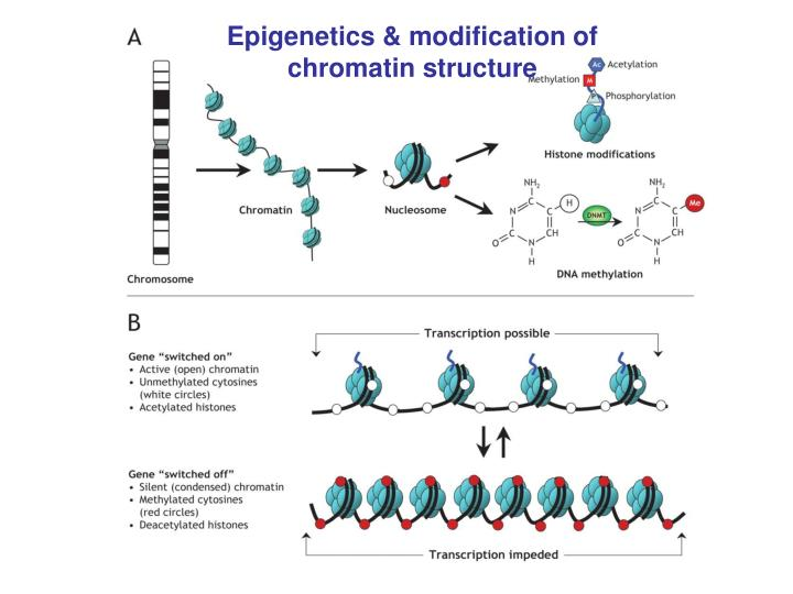 Epigenetics & modification of chromatin structure