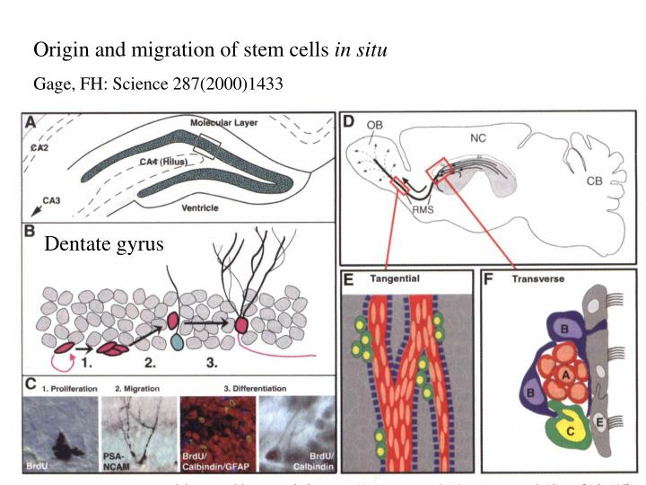 Origin and migration of stem cells
