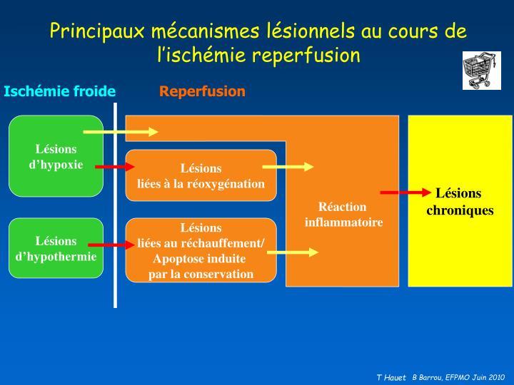 Principaux mécanismes lésionnels au cours de l'ischémie reperfusion