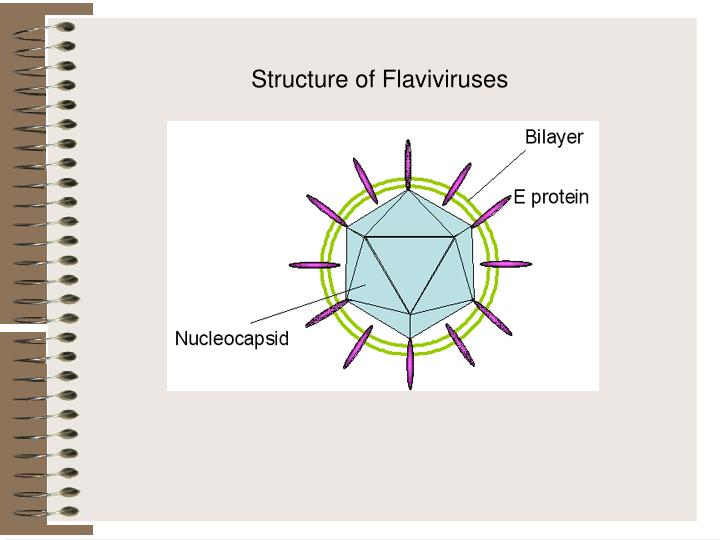 Structure of Flaviviruses