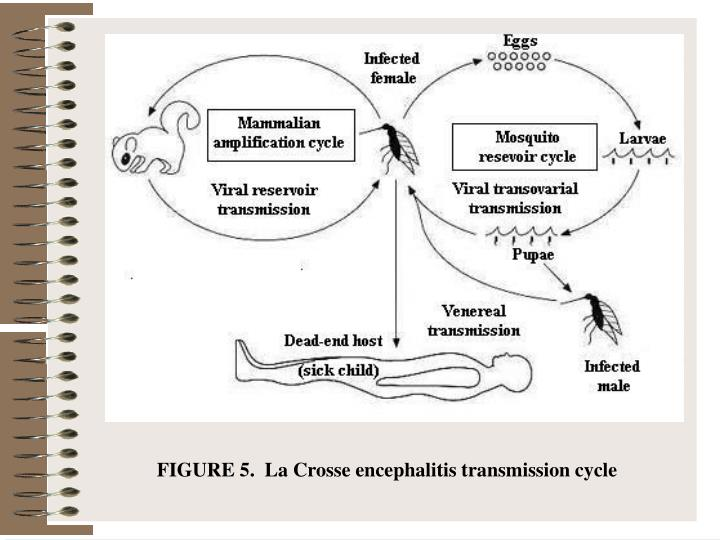 FIGURE 5.  La Crosse encephalitis transmission cycle