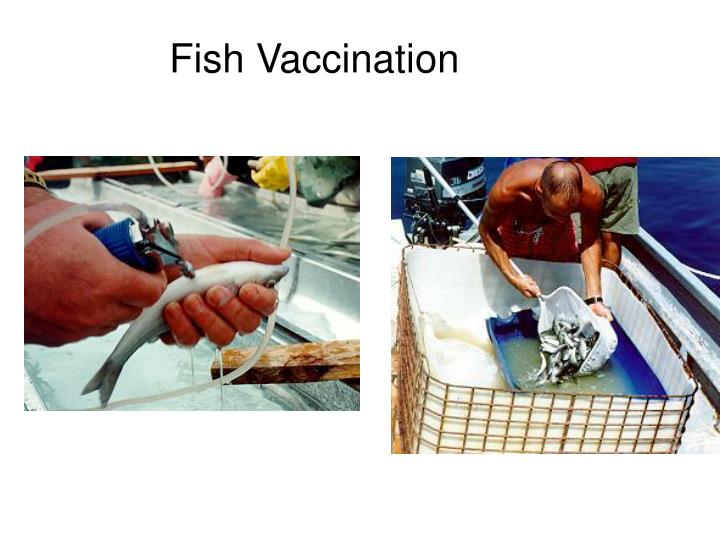 Fish Vaccination