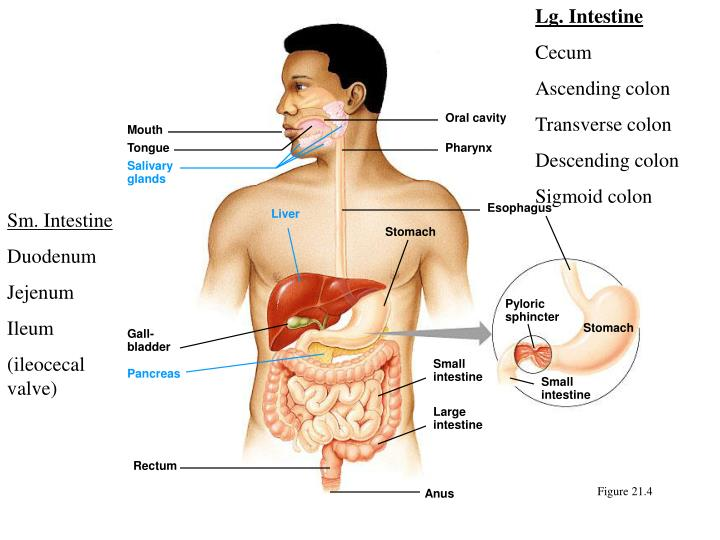 Lg. Intestine