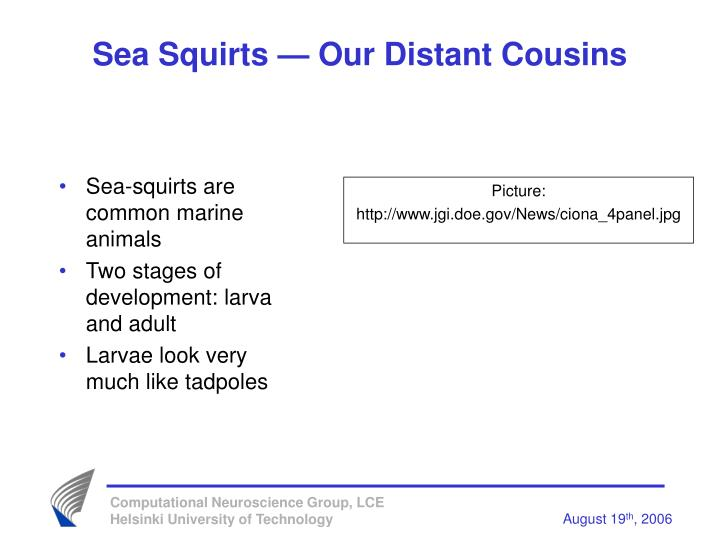 Sea squirts our distant cousins