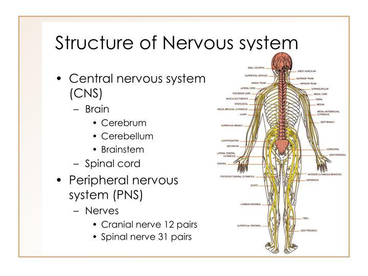 Nervous system structure