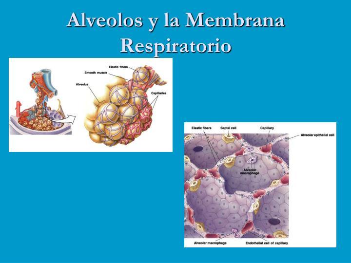 Alveolos y la Membrana Respiratorio