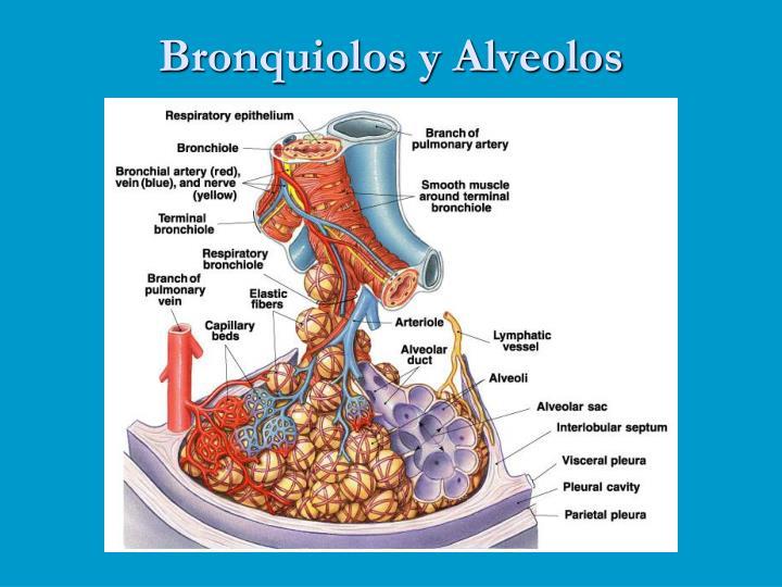 Bronquiolos y Alveolos