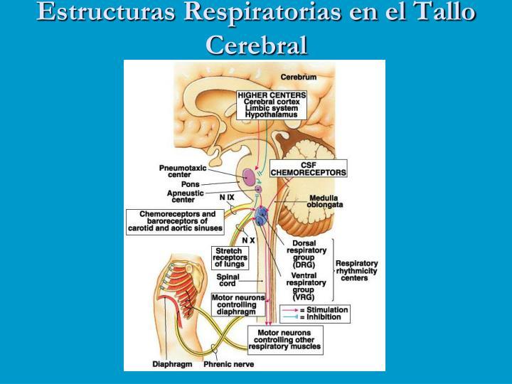Estructuras Respiratorias en el Tallo Cerebral