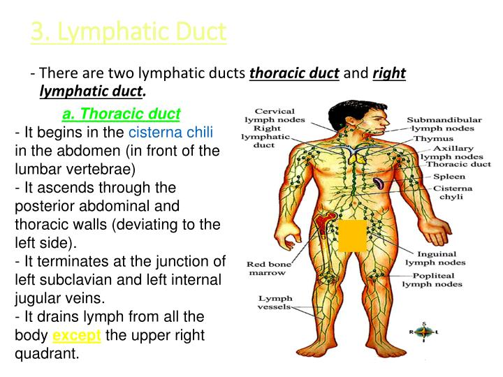3. Lymphatic Duct