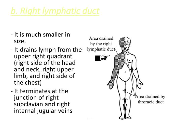 b. Right lymphatic duct