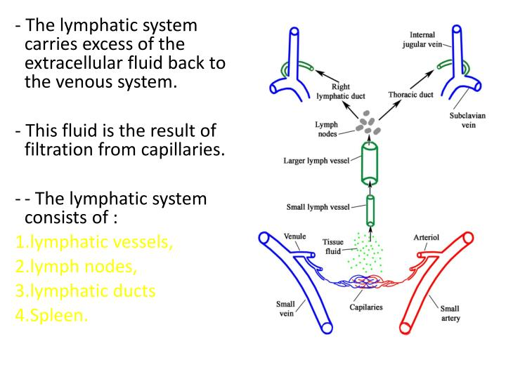 - The lymphatic system carries excess of the extracellular fluid back to the venous system.