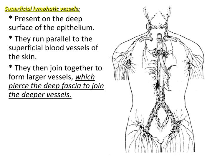 Superficial lymphatic vessels: