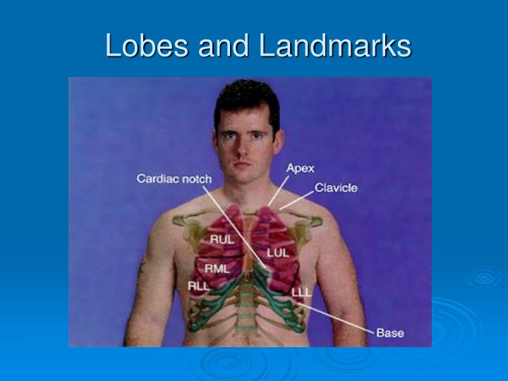 Lobes and Landmarks