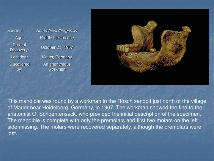 This mandible was found by a workman in the Rösch sandpit just north of the village of Mauer near Heidelberg, Germany, in 1907. The workman showed the find to the anatomist O. Schoentensack, who provided the initial description of the specimen. The mandible is complete with only the premolars and first two molars on the left side missing. The molars were recovered separately, although the premolars were lost.