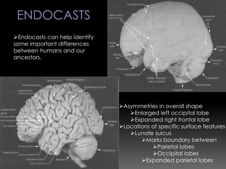 Endocasts