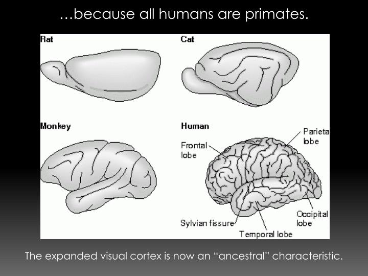…because all humans are primates.