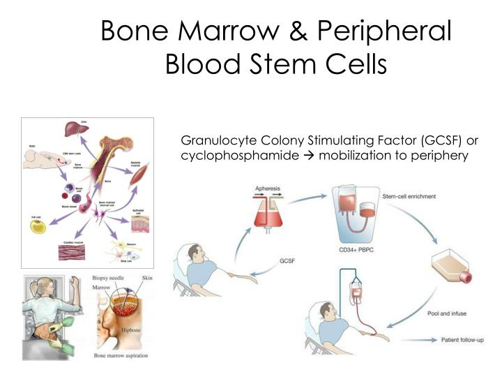 Bone Marrow & Peripheral Blood Stem Cells
