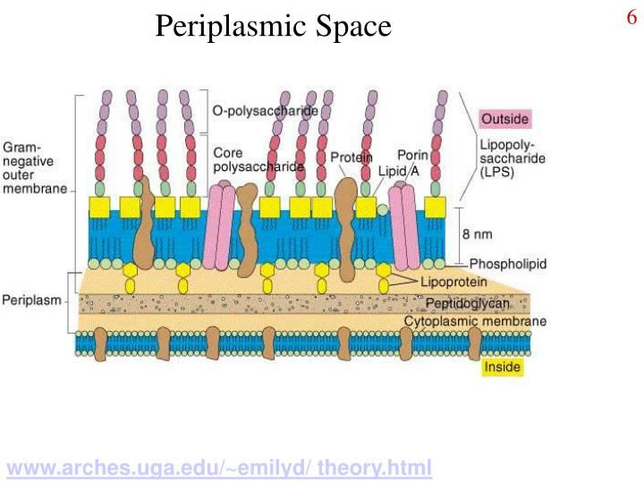 Periplasmic Space
