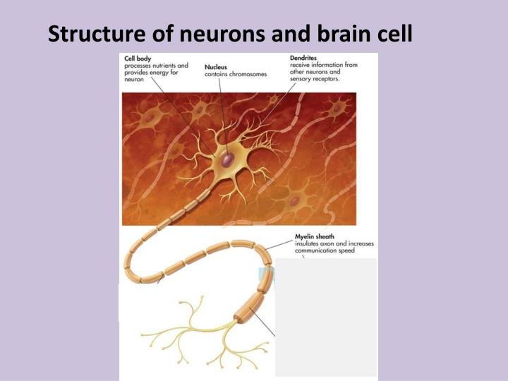 Structure of neurons and brain cell