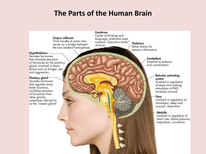 The Parts of the Human Brain