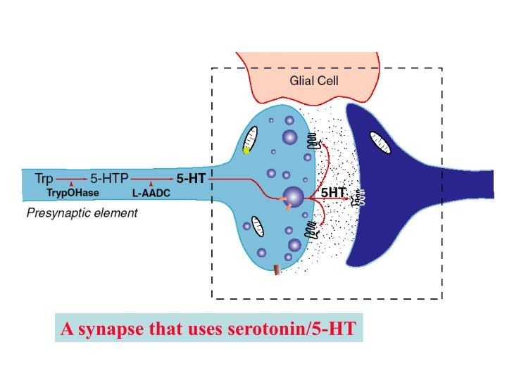 A synapse that uses serotonin/5-HT