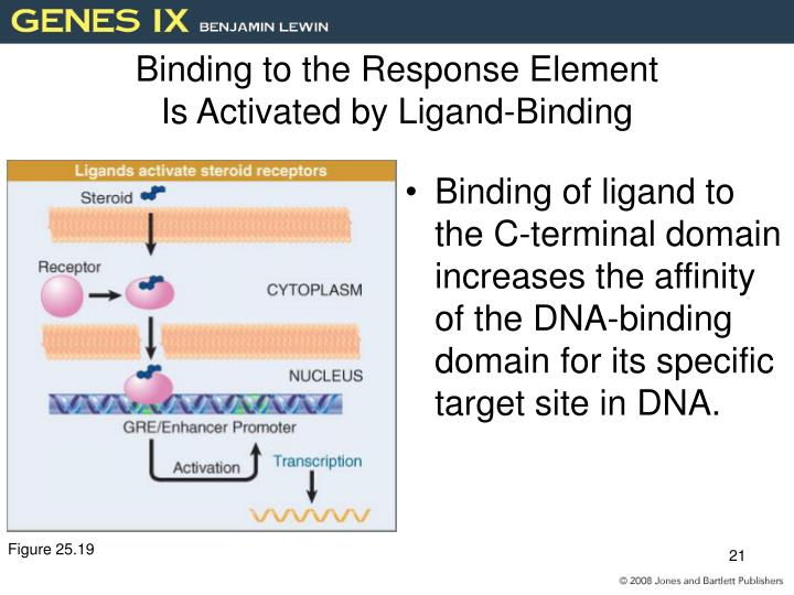 Binding to the Response Element