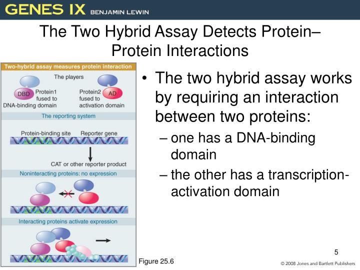 The Two Hybrid Assay Detects Protein–Protein Interactions
