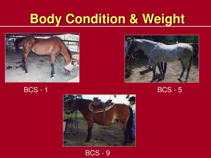 Body Condition & Weight