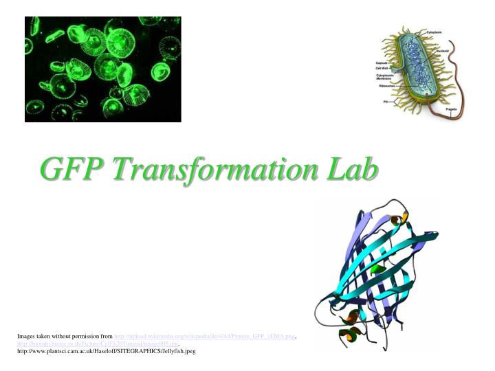 Gfp transformation lab