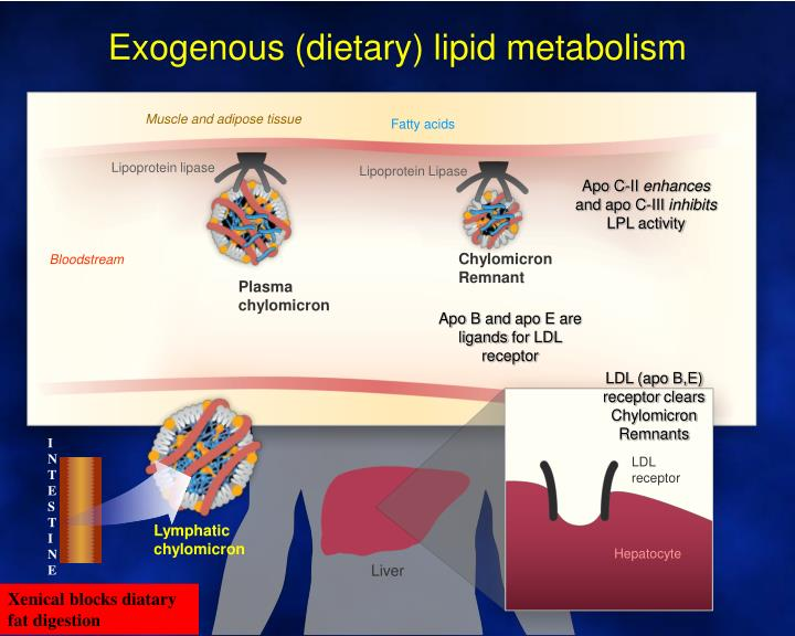 Exogenous (dietary) lipid metabolism