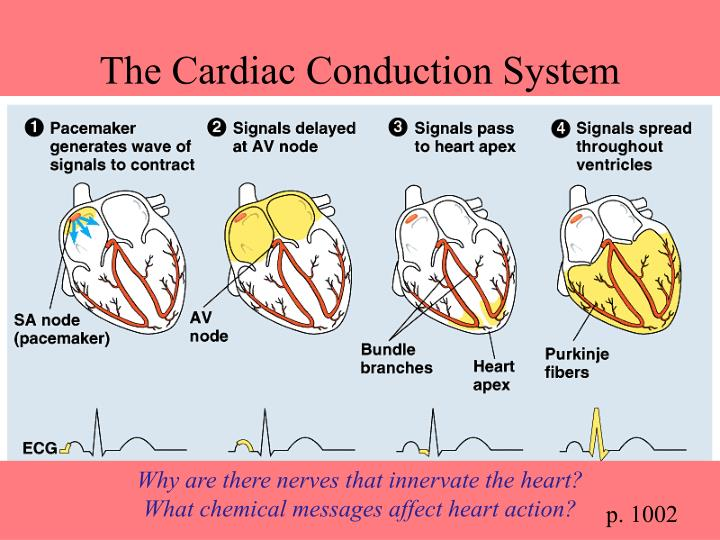 The Cardiac Conduction System