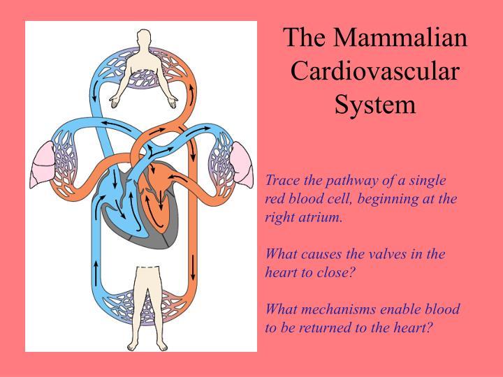 The Mammalian Cardiovascular System