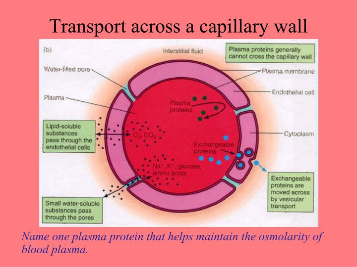 Transport across a capillary wall