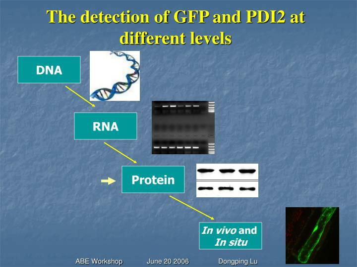 The detection of gfp and pdi2 at different levels
