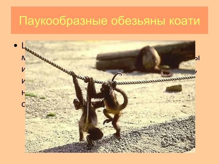 Паукообразные обезьяны коати