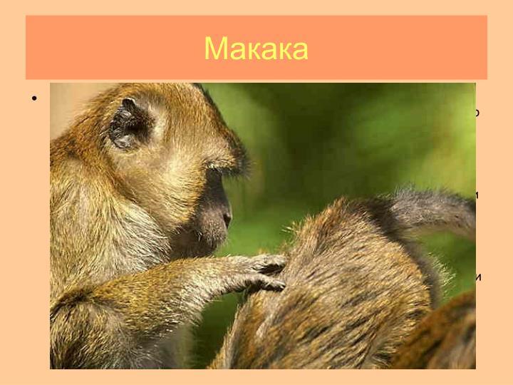 Макака