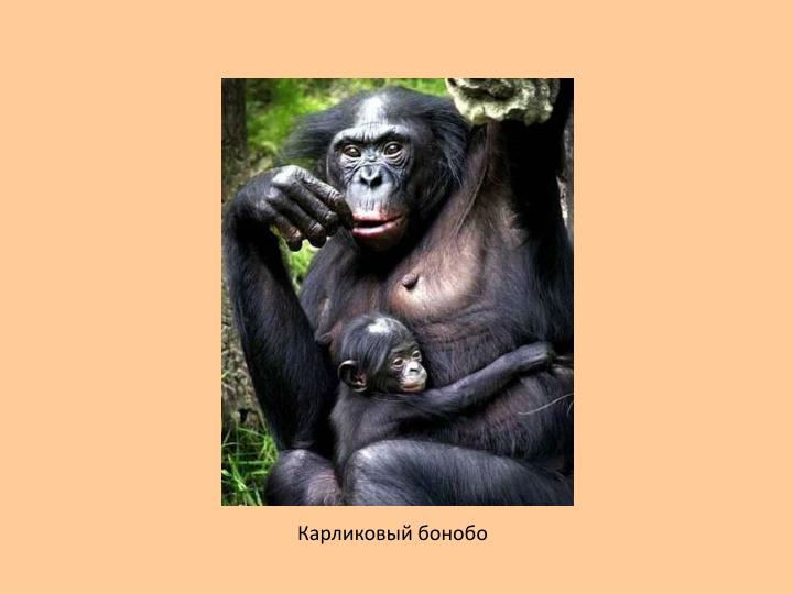 Карликовый бонобо