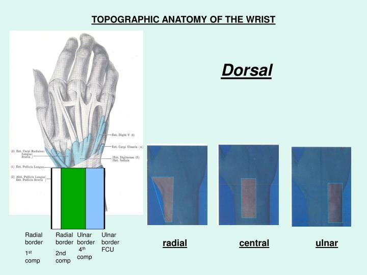 TOPOGRAPHIC ANATOMY OF THE WRIST