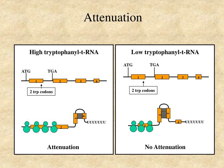 High tryptophanyl-t-RNA