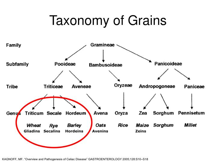 Taxonomy of Grains