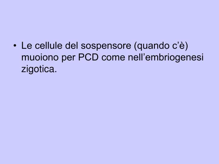 Le cellule del sospensore (quando c'è) muoiono per PCD come nell'embriogenesi zigotica.